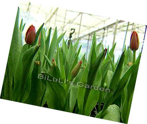 Hoa Tươi Tulip từ Đà Lạt cho bé, shop mẹ và bé, giá rẻ tại tp hcm